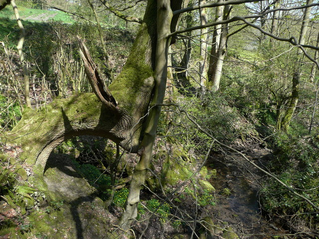 Distorted tree next to footbridge over Maple Dean Clough, Norland