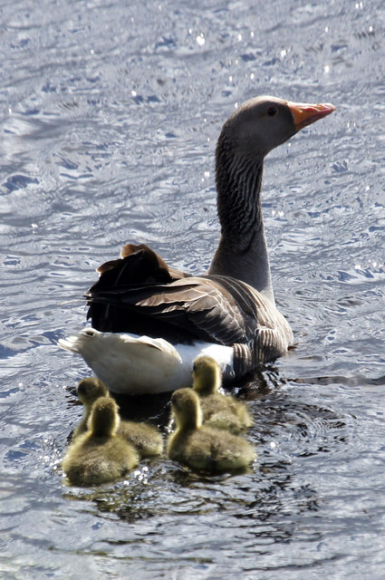 Greylag Goose (Anser anser) with goslings, Clugan