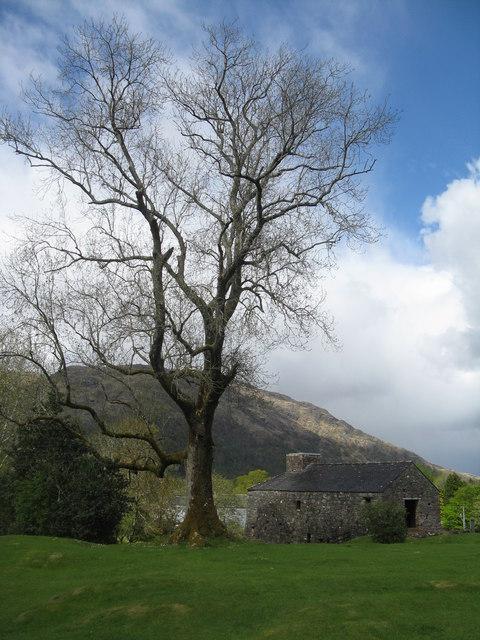 Ash tree at Bonawe