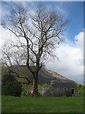 NN0031 : Ash tree at Bonawe by M J Richardson