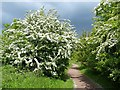ST2079 : Hawthorn bushes in flower, Howardian Nature Reserve, Cardiff by Robin Drayton