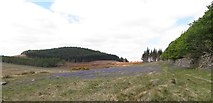 J3431 : Bluebells on dry ground between the Tullybranigan Bog and Tollymore Forest by Eric Jones