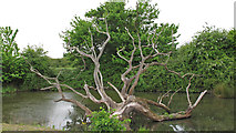 TL9945 : Dead tree in pond near Semer Gate Farm, 4 years later by Roger Jones