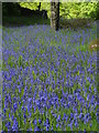 SK2479 : Bluebells near Rough Wood by Neil Theasby