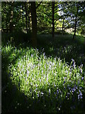 SK2479 : Bluebells in a pool of Sunlight by Neil Theasby