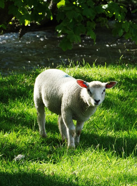 Lamb by The River Derwent