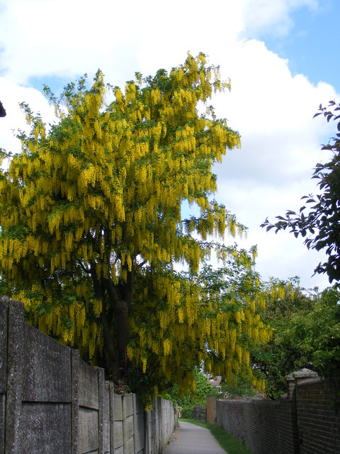 Laburnum near Station Road, Tring