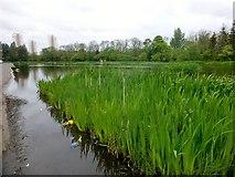 NS6168 : Southern Wildlife Pond, Springburn Park by Rude Health