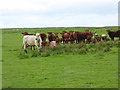 NZ0583 : Cows and calves near Middleton Bank Top Farm by Oliver Dixon