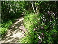 TR2046 : Red campion on a path through woodland on Lodge Lees Down by Marathon