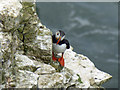TA1974 : One of Bempton's puffins by Steve  Fareham