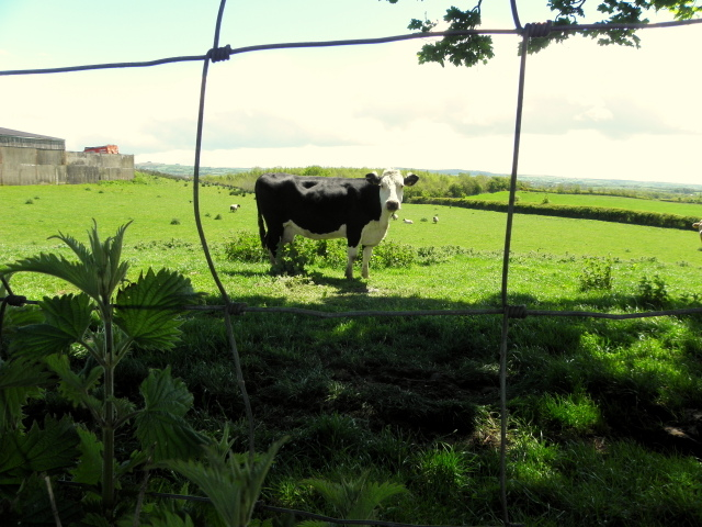 A cow behind a wire fence, Bracky