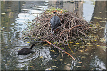 TQ3296 : Coots, New River Loop, Church Street, Enfield by Christine Matthews