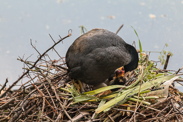 Coots, New River Loop, Church Street, Enfield
