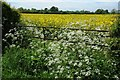 SO5255 : Cow parsley and oil seed rape by Philip Halling
