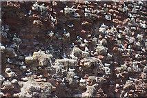 NT6779 : Kittiwakes - Dunbar Castle by Stephen McKay