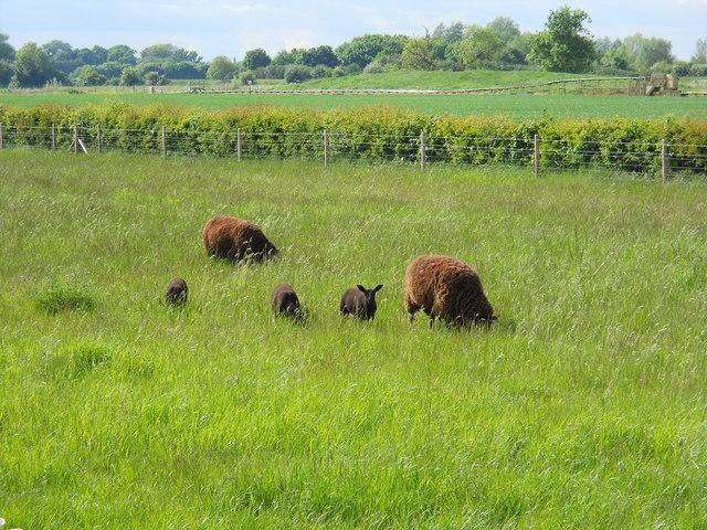 Sheep in a field near Etton