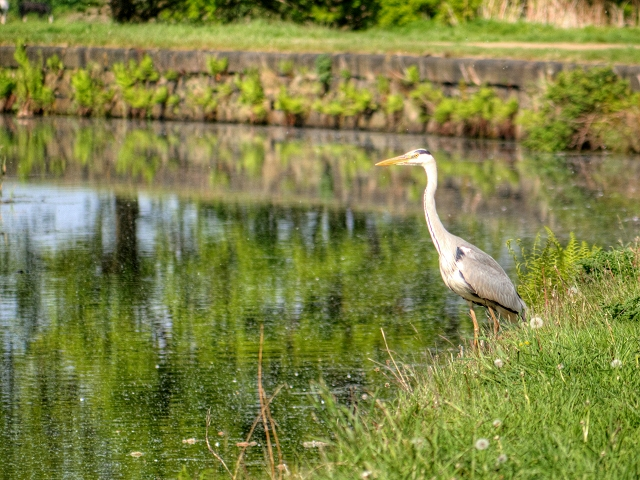 Heron at Manchester, Bolton and Bury Canal in Radcliffe
