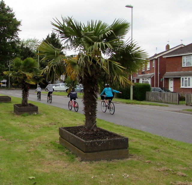 Two exotic trees and four cyclists in Romsey