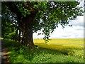 TL1242 : Oak tree and oilseed rape by Bikeboy