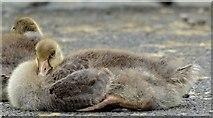 J4774 : Goslings, Kiltonga, Newtownards - June 2015(1) by Albert Bridge