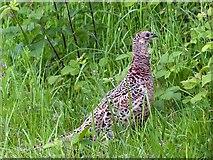 ST3283 : Female Pheasant, Newport Wetlands by Robin Drayton