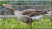 J4774 : Greylag goose, Kiltonga, Newtownards - June 2015(1) by Albert Bridge