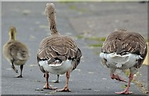 J4774 : Geese and goslings, Kiltonga, Newtownards - June 2015(1) by Albert Bridge