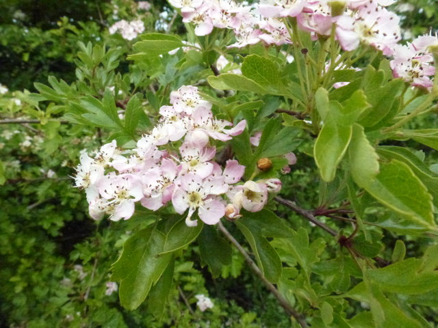 Colours of Hawthorn Blossom 2