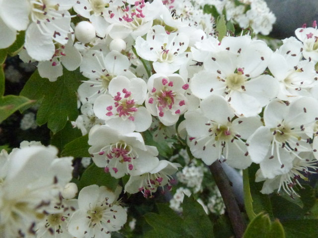 Colours of Hawthorn Blossom 3