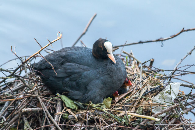 Coot with Chicks, New River Loop, Enfield