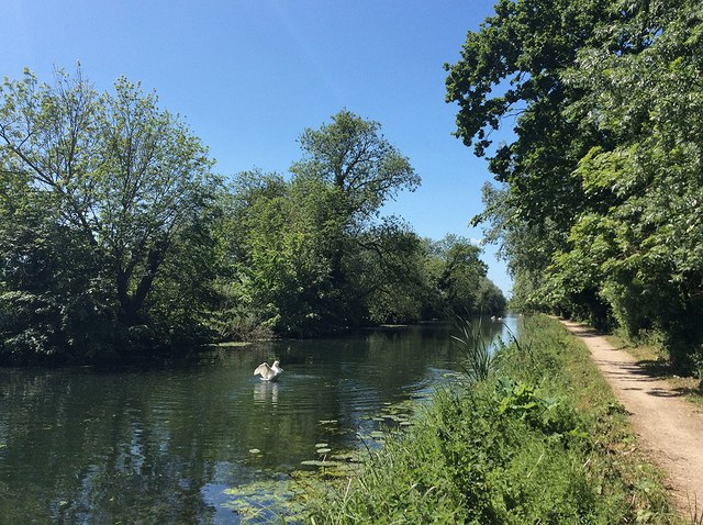 Swans on the Cam above Clayhithe