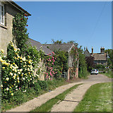 TL5064 : Rambling roses at Clayhithe Farm by John Sutton