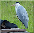 SK5805 : Heron next to the Grand Union Canal by Mat Fascione