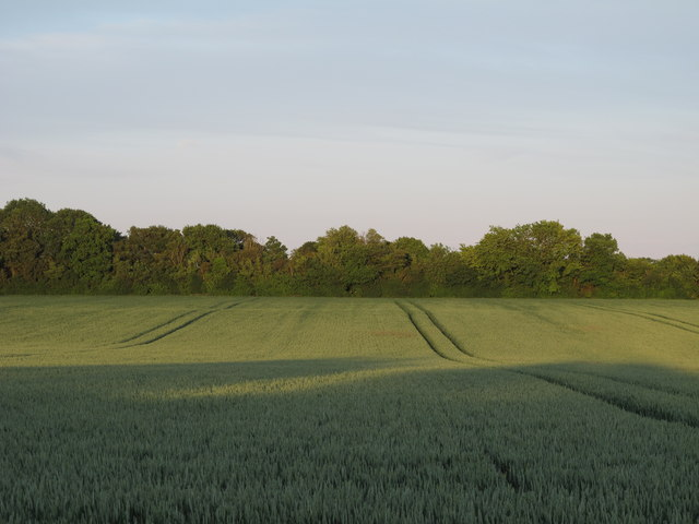 Wheat field, Wakes Colne