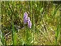 TF1807 : Dactylorhiza fuchsii by Bob Harvey