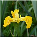 SW9379 : Yellow Flag, Iris pseudacorus by John Myers