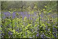 NC8301 : Bluebells and Bracken by Andrew Tryon