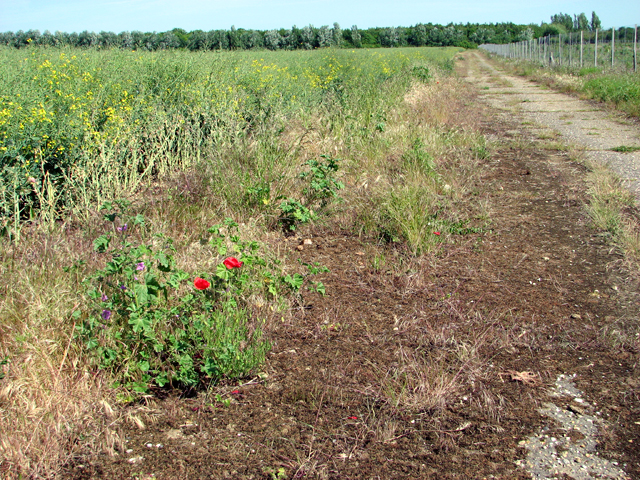Poppies growing beside a farm track