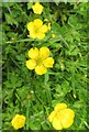 SU5194 : Creeping Buttercup by the Thames Path by Steve Daniels