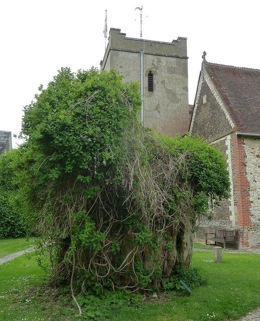 The Selborne Yew