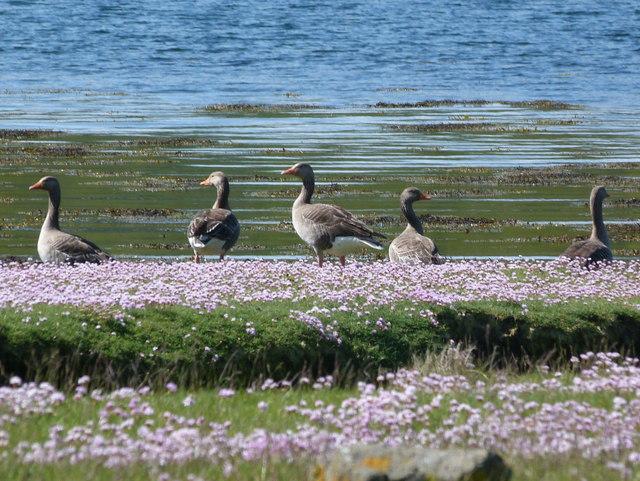 Greylag geese by Loch Feochan