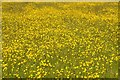 SO8842 : Buttercups on Dunstall Common by Philip Halling