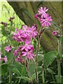 NT9166 : Red Campion flowers by Graham Robson