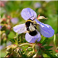 SO7127 : Bumble bee on a sky-blue Geranium by Jonathan Billinger