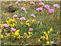 NT9168 : Birdsfoot Trefoil and Thrift flowering by Graham Robson
