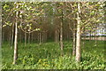 SE8133 : Poplar plantation near Hasholme Hall by Chris