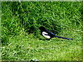 H4772 : Magpie, Mullaghmore by Kenneth  Allen
