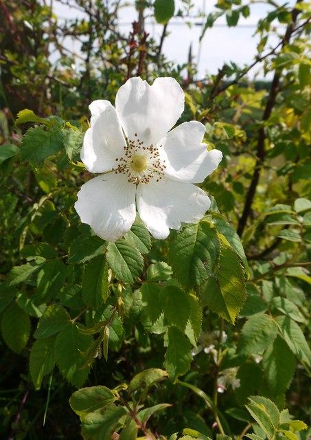 Pure-white dog-rose (Rosa canina),... \u00a9 Stefan Czapski ...