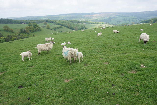 Sheep on Calton Pastures